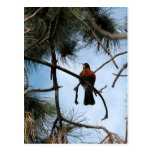 Robin in a pine tree postcard