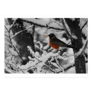 Robin in Color on Black and White Background Postcard