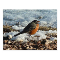 Robin In Snow Postcard