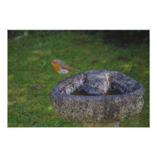 Robin On Bird Bath Photo Print