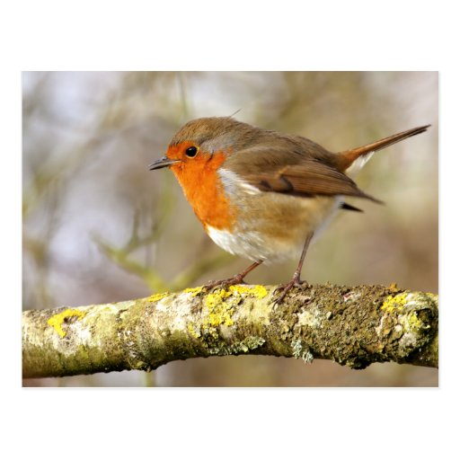 Robin on Branch Post Card
