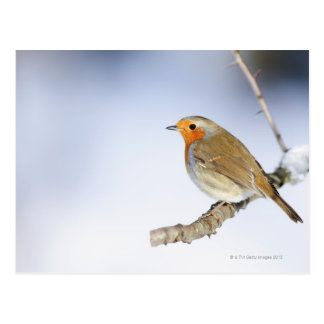 Robin perched on a branch in winter postcard