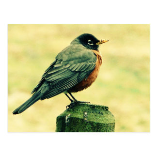 Robin Red Breast on Country Fence Post Postcard