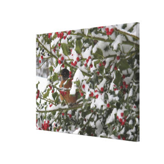robin sheltering in a holly tree after a snow canvas print