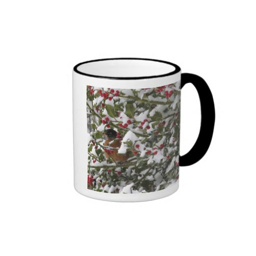robin sheltering in a holly tree after a snow mug