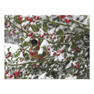 robin sheltering in a holly tree after a snow photo print