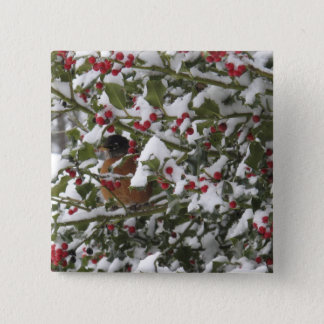 robin sheltering in a holly tree after a snow pinback button