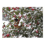 robin sheltering in a holly tree after a snow postcards