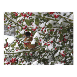 robin sheltering in a holly tree after a snow postcard
