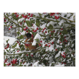 robin sheltering in a holly tree after a snow poster