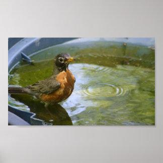 Robin taking a Bath Posters