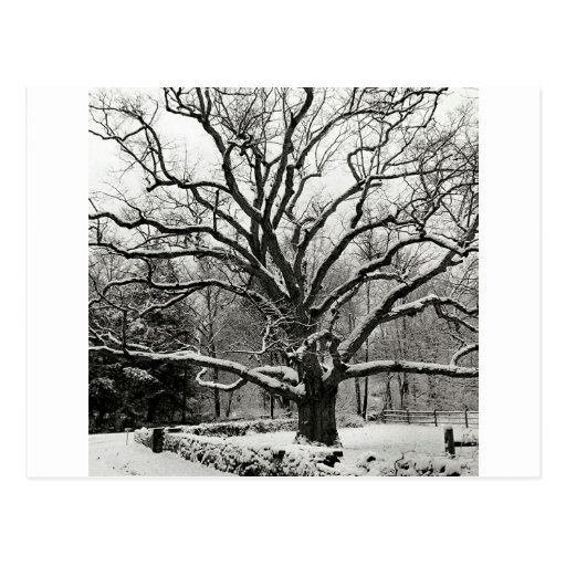 Roble New York City de Bedford del árbol Postal