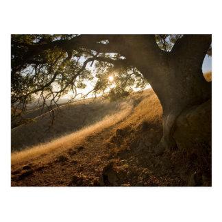 Roble y postal sombríos de California Susnet