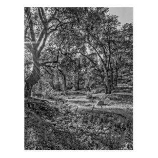 Robles de valle de Whitney Tarjetas Postales