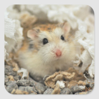 Roborovski hamster stare (sticker) square sticker