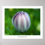 Rocío en el brote de flor púrpura impresiones