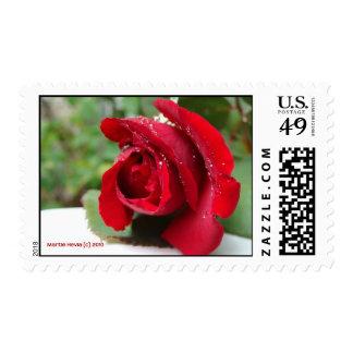 Rocío en un rosa rojo sellos