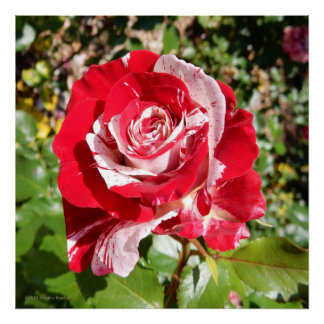 Rock and Roll Red Striped Rose Photo Square Poster