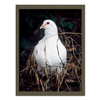 Rock Dove Postcard