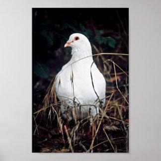 Rock Dove Print