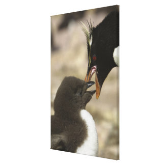 Rock-hopper Penguin, Eudyptes chrysocome, Canvas Print