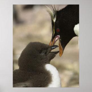 Rock-hopper Penguin, Eudyptes chrysocome, Poster