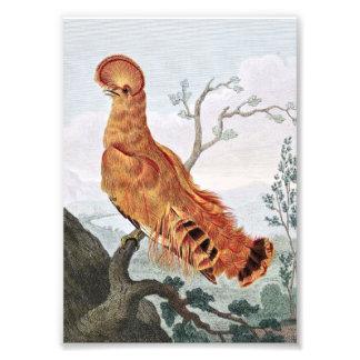 Rock Manakin Bird Photographic Print