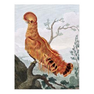 Rock Manakin Bird Post Card