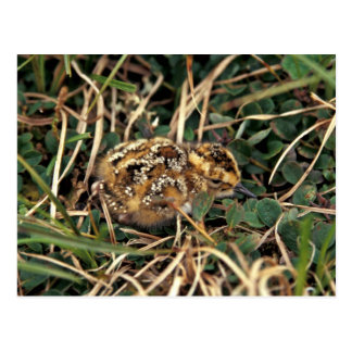 Rock Sandpiper chick Hall Island Post Card