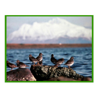 Rock Sandpipers at Rocky Shoreline Post Card