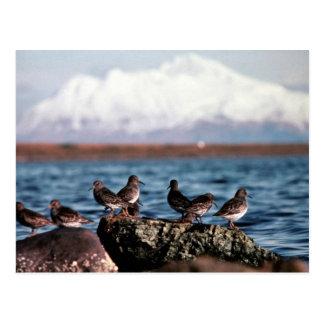 Rock Sandpipers at Rocky Shoreline Postcards
