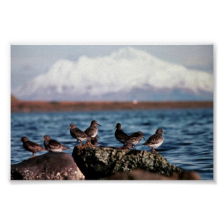 Rock Sandpipers at Rocky Shoreline Poster