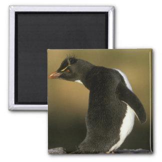 Rockhopper Penguin, Eudyptes chrysocome), 2 Inch Square Magnet