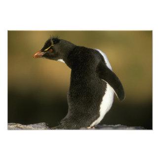 Rockhopper Penguin, Eudyptes chrysocome), Photograph