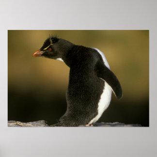 Rockhopper Penguin, Eudyptes chrysocome), Posters