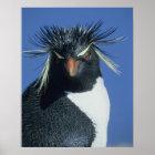 Rockhopper Penguin (Eudyptes chrysocome) Poster