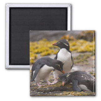 Rockhopper penguins communicate with each other 2 inch square magnet