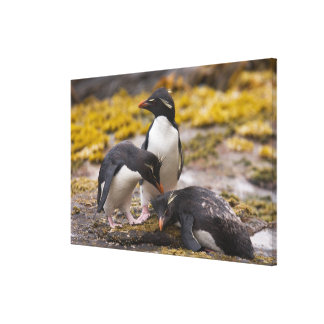 Rockhopper penguins communicate with each other canvas print