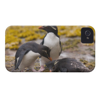 Rockhopper penguins communicate with each other Case-Mate iPhone 4 case