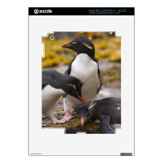 Rockhopper penguins communicate with each other iPad 3 skin