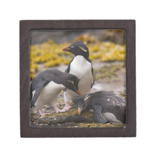 Rockhopper penguins communicate with each other premium jewelry boxes