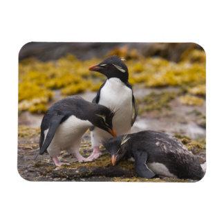 Rockhopper penguins communicate with each other rectangular photo magnet