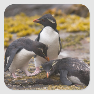 Rockhopper penguins communicate with each other square sticker