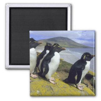 Rockhopper Penguins, (Eudyptes chrysocome), 2 Inch Square Magnet