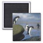 Rockhopper Penguins, Eudyptes chrysocome), 2 Inch Square Magnet