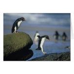 Rockhopper Penguins, Eudyptes chrysocome), Card