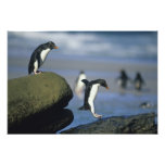 Rockhopper Penguins, Eudyptes chrysocome), Photo Print