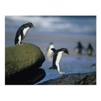 Rockhopper Penguins, Eudyptes chrysocome), Postcard