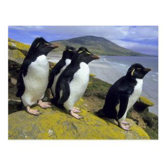Rockhopper Penguins, (Eudyptes chrysocome), Postcard