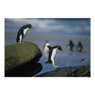Rockhopper Penguins, Eudyptes chrysocome), Poster